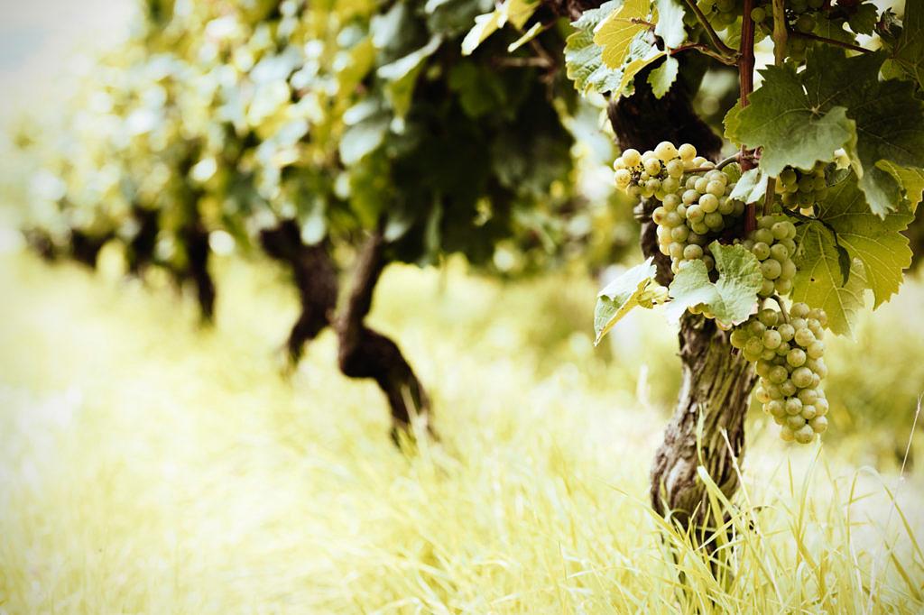 виноград Савватьяно