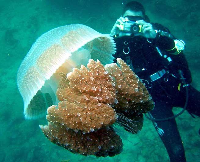 дайвер снимает медузу в Греции