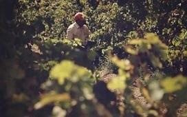 Как выращивают виноград для вина на Крите. Видео