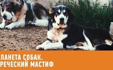 Греческий мастиф. Планета собак
