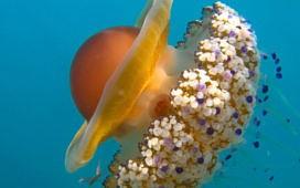 Медузы и анемоны в Греции